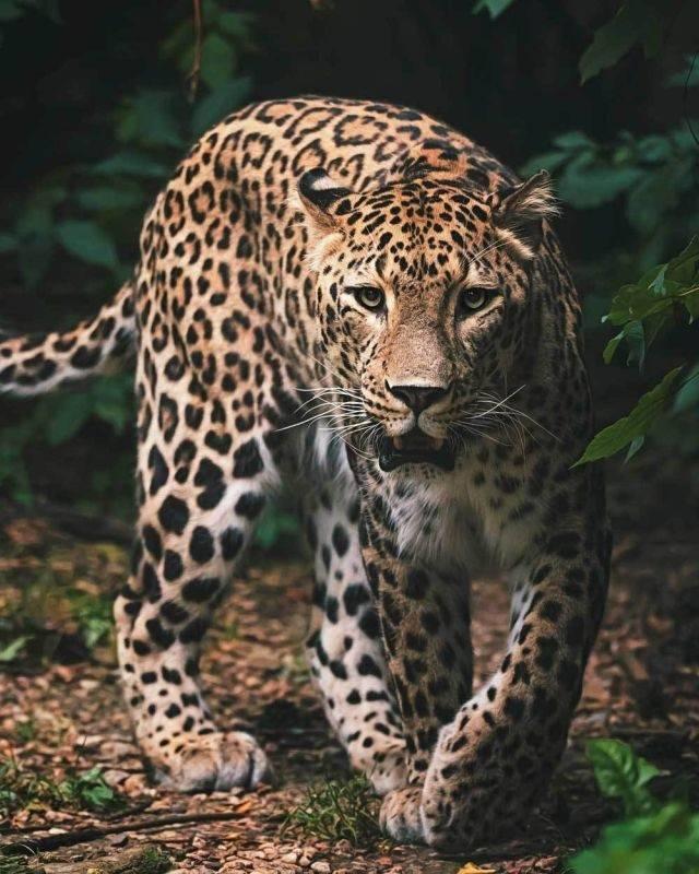 Deka mikroflanel s digitálním tiskem Leopard green 120/150